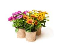Красивая красочная маргаритка цветет в малых баках украшенных с s стоковое изображение