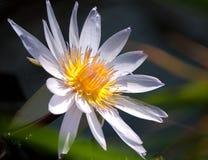Красивая лилия и пусковая площадка белой воды Стоковая Фотография