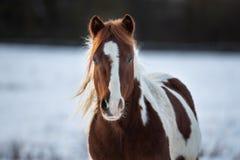 Красивая лошадь в зиме стоковые фотографии rf