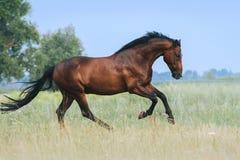 Красивая лошадь залива скачет в поле против голубого неба стоковое фото