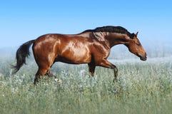 Красивая лошадь залива скачет в поле против голубого неба стоковое изображение