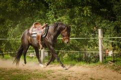 Красивая лошадь ковбоя бежит в круговом космосе Лошадь сидит без всадника Лошадь имеет цвет темного коричневого цвета Стоковые Изображения RF