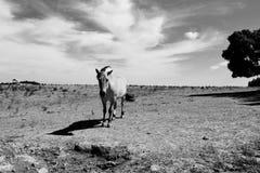 Красивая лошадь пася в выгонах в черно-белом влиянии Стоковое Изображение