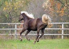 Красивая лошадь скакать в Paddock стоковое фото rf
