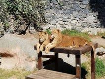 красивая львица 2 стоковое изображение