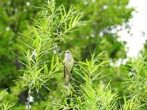 Красивая маленькая птица на зеленой ветви, Литве Стоковая Фотография