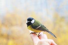 Красивая маленькая синица птицы сидит на пальцы person's и около лететь к голубому небу весны на солнечный, ясный день внутри стоковое изображение rf
