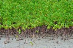 Красивая мангрова Стоковое Фото
