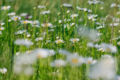 Красивая маргаритка весны Стоковые Фотографии RF