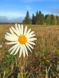 Красивая маргаритка в поле под голубым небом стоковые фотографии rf