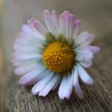 Красивая маргаритка в саде стоковое изображение rf