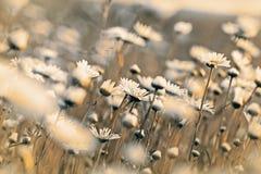 Красивая маргаритка - маргаритка весны Стоковое Изображение RF