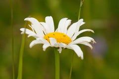 Красивая маргаритка на естественной предпосылке Стоковые Фотографии RF