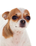 Красивая малая собака Стоковое Изображение RF