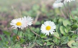 Красивая маленькая маргаритка - маргаритка весны Стоковые Изображения