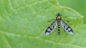 Красивая металлическая муха с Striped крылами Стоковое Изображение