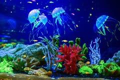 Красивая Медуза медуз в аквариуме Стоковое Изображение