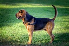 Красивая молодая собака Bloodhound стоковые изображения