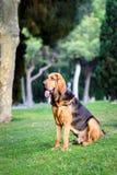 Красивая молодая собака Bloodhound стоковое изображение
