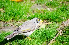 Красивая молодая шумная птица горнорабочей на зеленой траве в дне солнечности на Сиднее, Австралии стоковое фото rf
