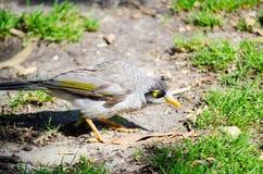 Красивая молодая шумная птица горнорабочей на зеленой траве в дне солнечности на Сиднее, Австралии стоковое изображение