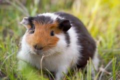 Красивая морская свинка грызет траву стоковое изображение