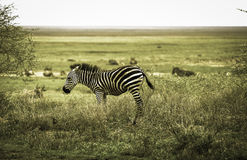 Красивая молодая зебра в Serengeti Стоковые Изображения RF