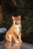 Красивая молодая красная собака щенка Shiba Inu на автомобиле Стоковые Изображения RF