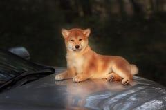 Красивая молодая красная собака щенка Shiba Inu на автомобиле Стоковая Фотография
