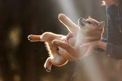Красивая молодая красная собака щенка Shiba Inu на автомобиле Стоковые Фото