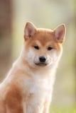 Красивая молодая красная собака щенка Shiba Inu на автомобиле Стоковая Фотография RF