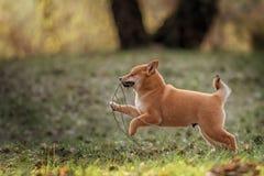 Красивая молодая красная собака щенка Shiba Inu Стоковое Изображение