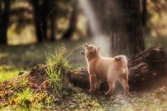 Красивая молодая красная собака щенка Shiba Inu Стоковое Изображение RF