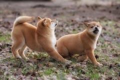 Красивая молодая красная собака щенка Shiba Inu Стоковое Фото