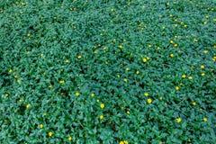 Красивая небольшая желтая маргаритка Сингапура цветка стоковое изображение
