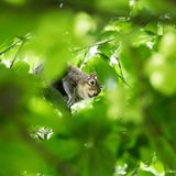 Красивая общая белка в парке Londons ища еда Стоковые Изображения