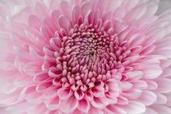 Красивая одиночная розовая хризантема, взгляд сверху Стоковое Изображение RF