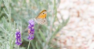 Красивая оранжевая бабочка над фиолетовой лавандой цветет стоковое фото