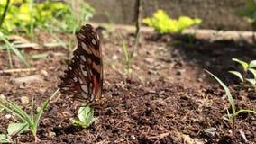 Красивая оранжевая бабочка на цветке видеоматериал