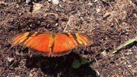Красивая оранжевая бабочка на цветке акции видеоматериалы