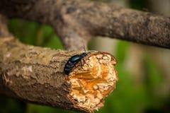 Красивая оранжевая бабочка сидя на зеленых лист в крупном плане forestA лета красивом синего жука на стволе дерева i Стоковые Фотографии RF
