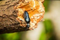 Красивая оранжевая бабочка сидя на зеленых лист в крупном плане forestA лета красивом синего жука на стволе дерева i Стоковые Изображения RF