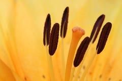 Красивая оранжевая предпосылка бутона лилии стоковая фотография