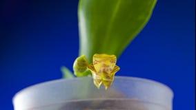Красивая орхидея в баке на нейтральной предпосылке акции видеоматериалы