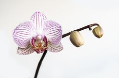 Красивая орхидея, фаленопсис, цветок стоковое изображение rf