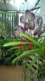 Красивая орхидея цветет Шри-Ланка 01 Стоковые Изображения RF