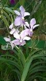 Красивая орхидея цветет Шри-Ланка 01 Стоковое Изображение