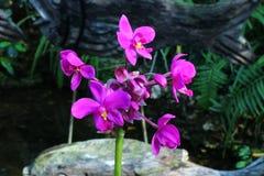 Красивая орхидея в королевском rajapruek парка Таиланда Стоковые Изображения