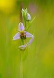 Красивая орхидея пчелы Стоковые Изображения