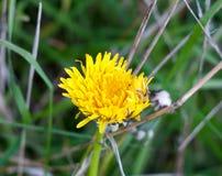 Красивая открытых желтых половина лепестков головы цветка одуванчика Стоковое Изображение RF